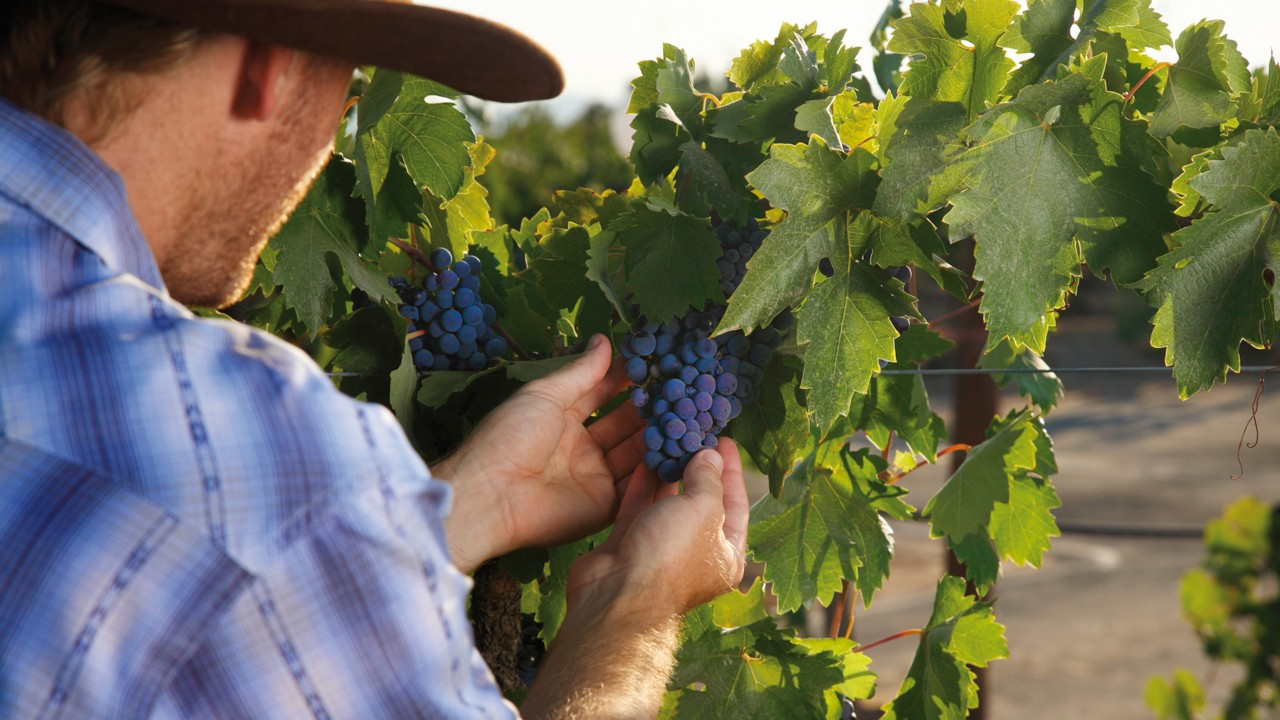 Winemaker inspect grapes in the vineyard.