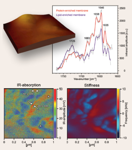 Topography, Stiffness Map, and IR-Adsorption Pattern of Lipoprotein