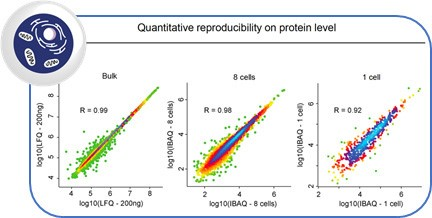 Label-free quantification of proteins in bulk, in 8 cells and in single cells correlated with each other shows good quantitative reproducibility for single cells - demonstrating that single cells have stable core proteomes.